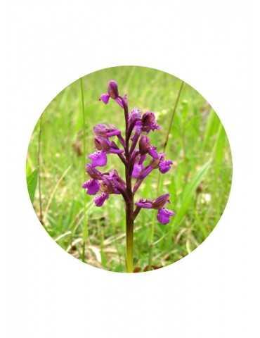 Little Orchid