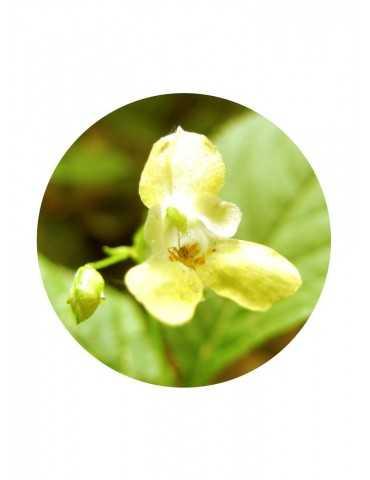Small Balsam
