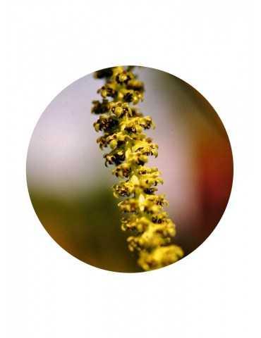 Walnuss Pollen