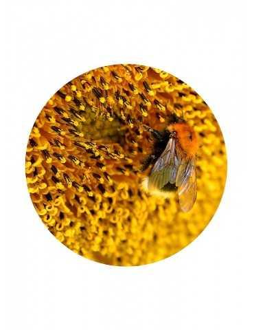 Sonnenblumen Pollen