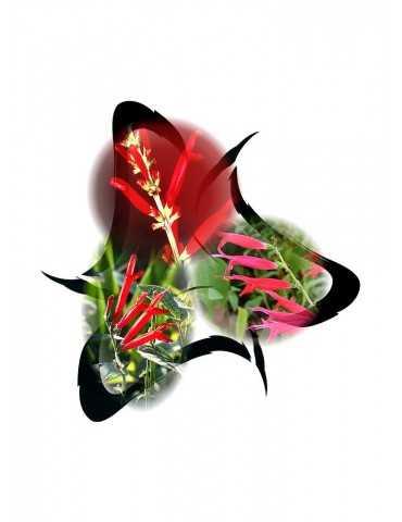 Salvia elegans-Trio